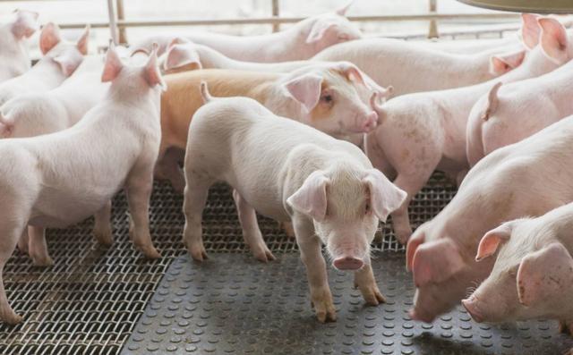 农业物联网养猪:二师兄住上了智能家居了,不生病,尽长肉